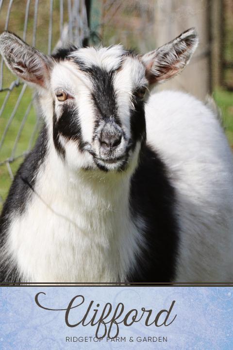 Ridgetop Farm and Garden | Our Nigerian Dwarf Goat Herd: Clifford | Oregon