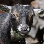 Our Nigerian Dwarf Goat Herd: Merida