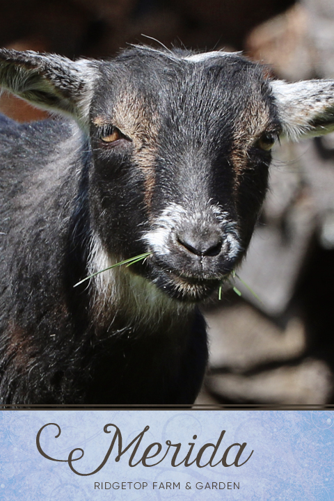 Our Nigerian Dwarf Goat Herd: Merida | Ridgetop Farm and Garden | Goats Oregon