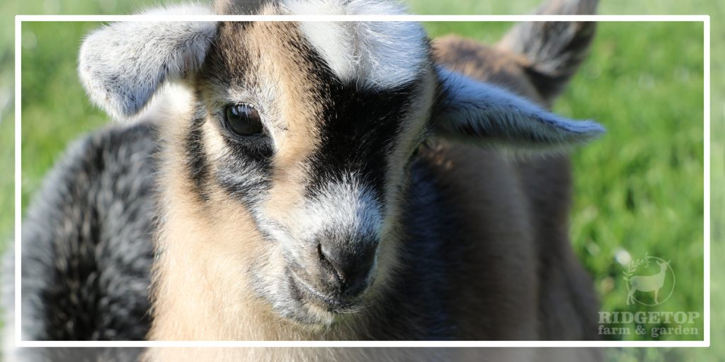 2021 Nigerian Dwarf Goats for Sale | Ridgetop Farm and Garden
