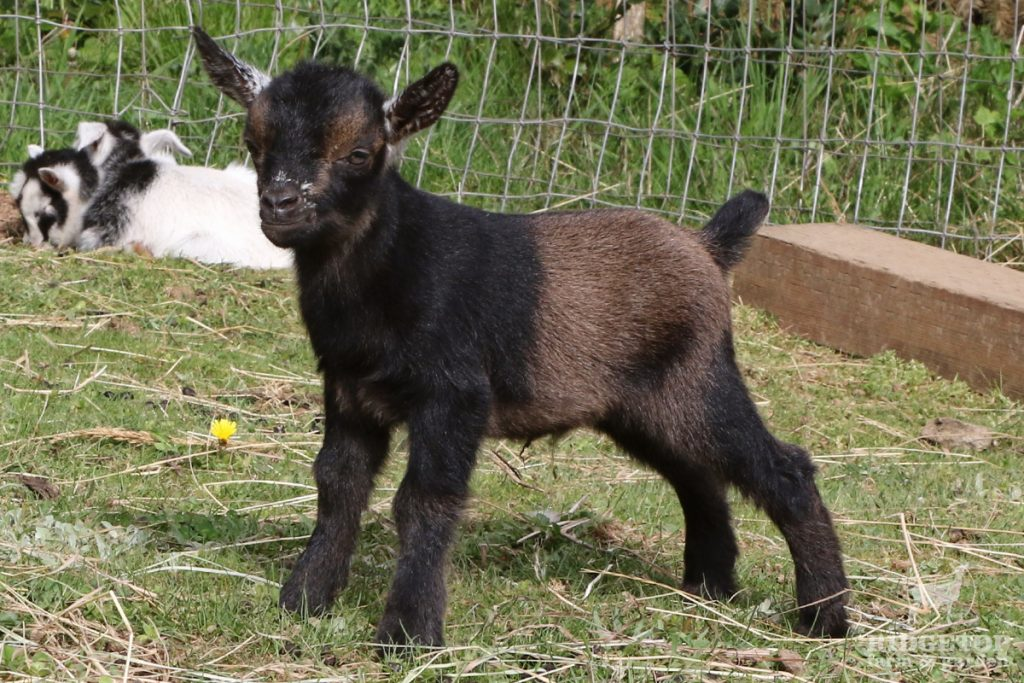 2021 Nigerian Dwarf Goats for Sale | EC1 | Ridgetop Farm and Garden