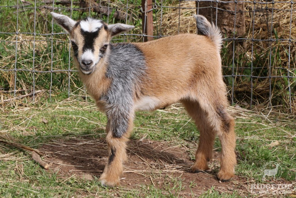 2021 Nigerian Dwarf Goats for Sale | EC2 | Ridgetop Farm and Garden