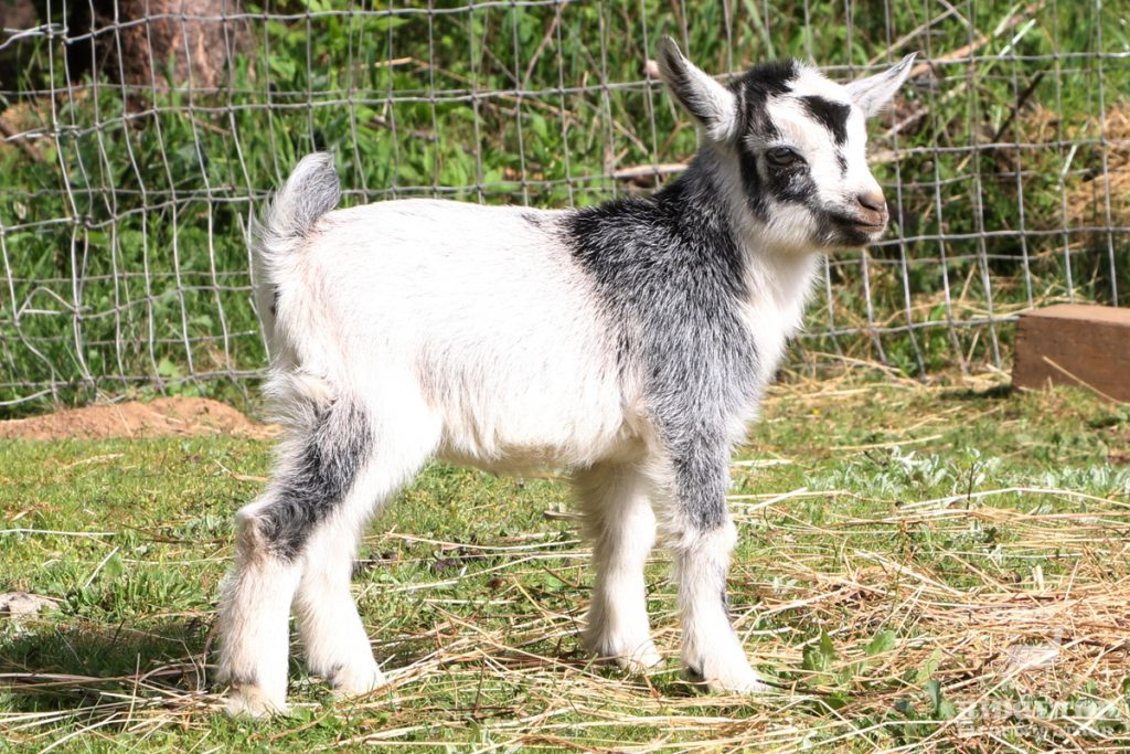 2021 Nigerian Dwarf Goats for Sale |  EG3 | Ridgetop Farm and Garden