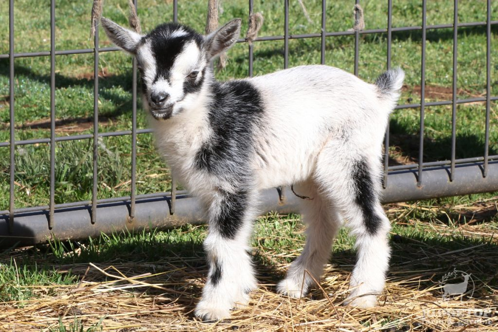 2021 Nigerian Dwarf Goats for Sale | EWS2 | Ridgetop Farm and Garden