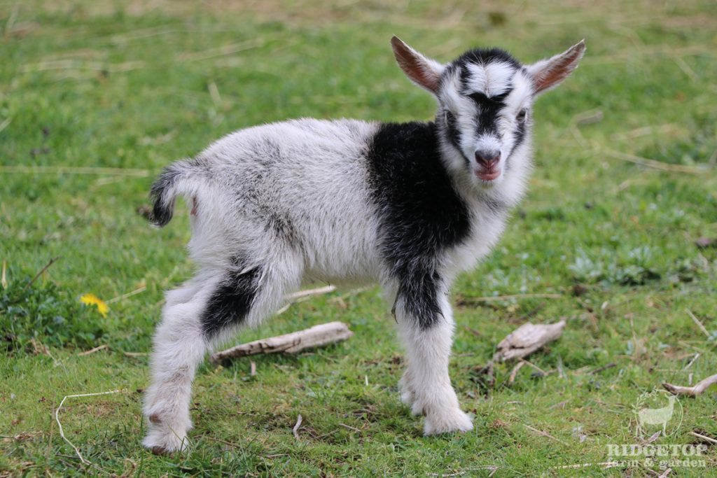 2021 Nigerian Dwarf Goats for Sale |  EWS3 | Ridgetop Farm and Garden