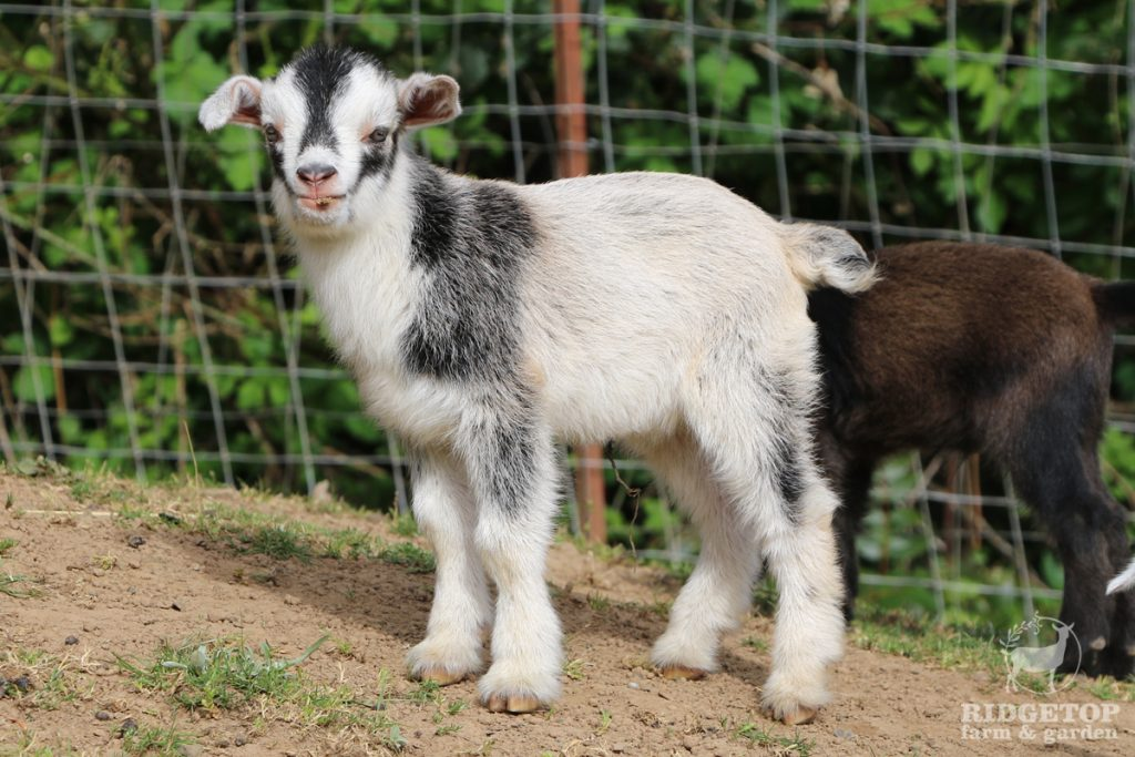 2021 Nigerian Dwarf Goats for Sale | EWS4 | Ridgetop Farm and Garden