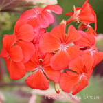 Bloom Day – July 2015