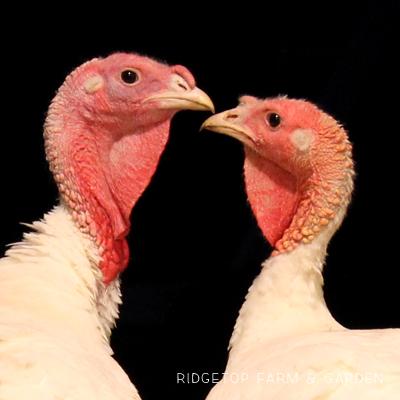 Porch Turkeys