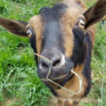 Our Goat Herd: Vern