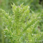 Pacific NW Plants: Canada Thistle