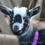 Our Goat Herd: Georgia