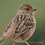 Birds 'round Here: Golden-crowned Sparrow