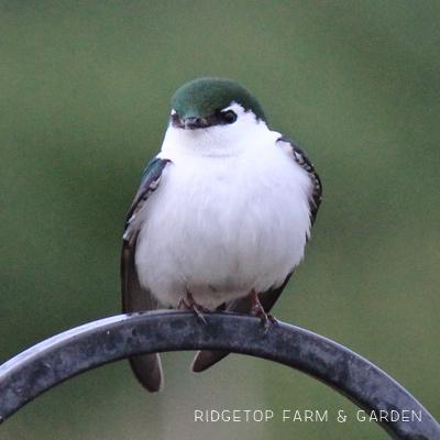 Birds 'round Here: Violet-Green Swallow