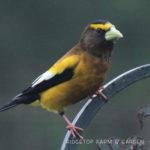 Birds 'round Here: Evening Grosbeak