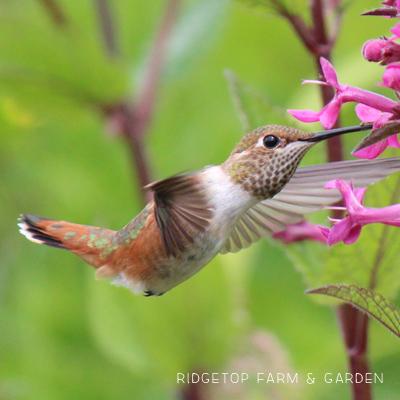 Birds 'round Here: Rufous Hummingbird