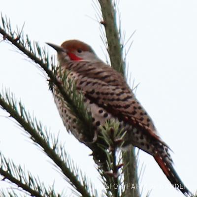 Birds 'round Here: Northern Flicker