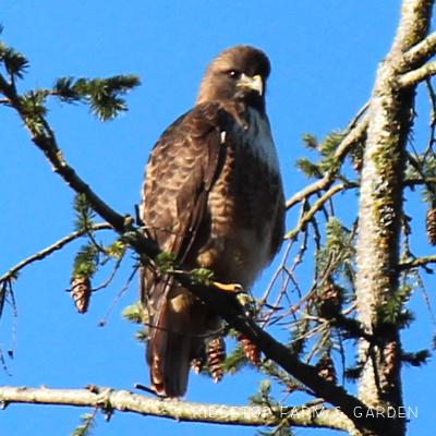 Birds 'round Here: Red-tailed Hawk