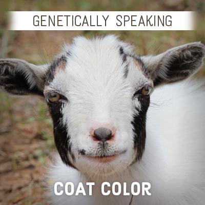 Goat Coat Color