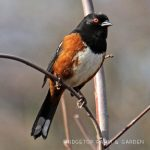 Birds 'round Here: Spotted Towhee