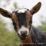 Our Nigerian Dwarf Goat Herd: Claire