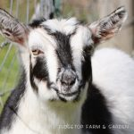 Our Nigerian Dwarf Goat Herd: Clifford