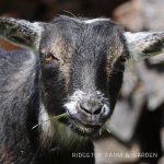 Our Nigerian Dwarf Goat Herd: Merida